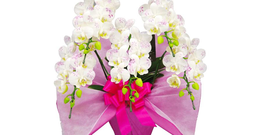 胡蝶蘭・祝い花・装花販売